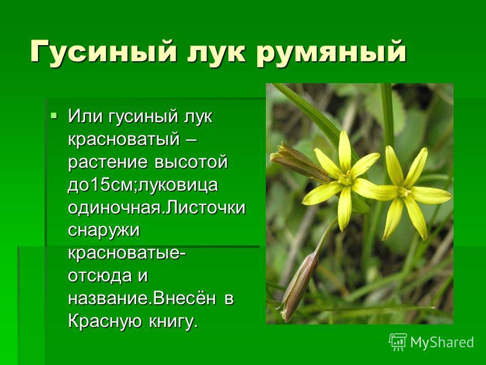 Гусиный лук румяный Или гусиный лук красноватый – растение высотой до15см;луковица одиночная.Листочки снаружи красноватые- отсюда и название.Внесён в Красную книгу. Или гусиный лук красноватый – растение высотой до15см;луковица одиночная.Листочки сна