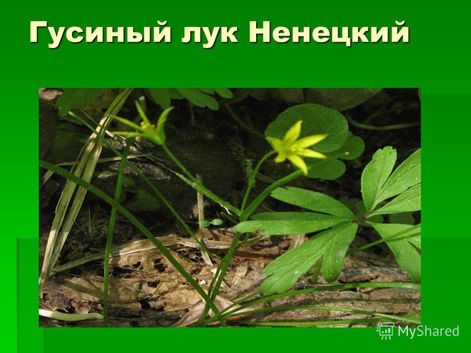 Гусиный лук Ненецкий