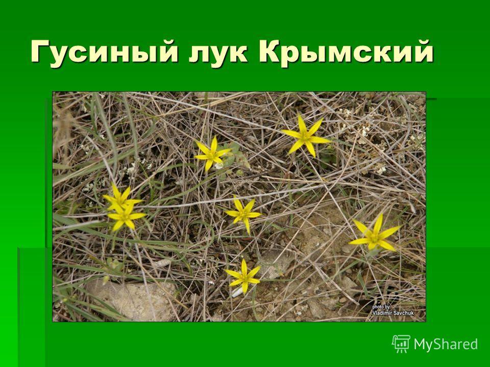 Гусиный лук Крымский