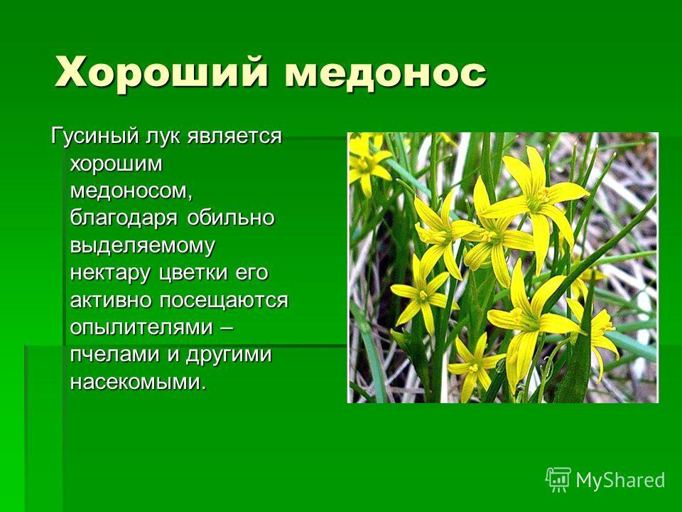 Хороший медонос Хороший медонос Гусиный лук является хорошим медоносом, благодаря обильно выделяемому нектару цветки его активно посещаются опылителями – пчелами и другими насекомыми. Гусиный лук является хорошим медоносом, благодаря обильно выделяем