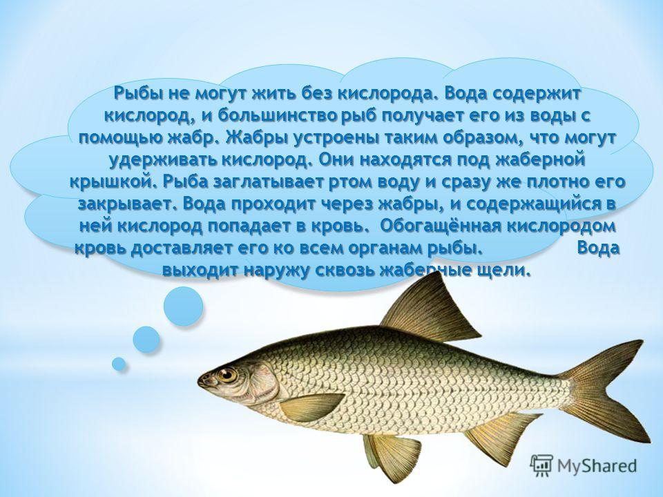 Рыбы не могут жить без кислорода. Вода содержит кислород, и большинство рыб получает его из воды с помощью жабр. Жабры устроены таким образом, что могут удерживать кислород. Они находятся под жаберной крышкой. Рыба заглатывает ртом воду и сразу же пл