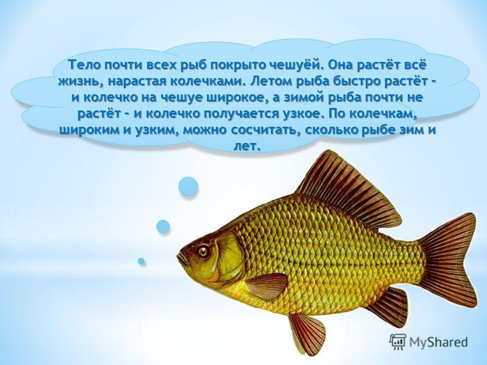Тело почти всех рыб покрыто чешуёй. Она растёт всё жизнь, нарастая колечками. Летом рыба быстро растёт – и колечко на чешуе широкое, а зимой рыба почти не растёт – и колечко получается узкое. По колечкам, широким и узким, можно сосчитать, сколько рыб
