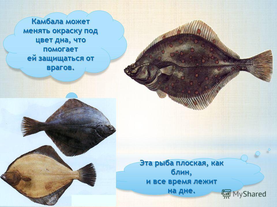 Эта рыба плоская, как блин, и все время лежит на дне. Камбала может менять окраску под цвет дна, что помогает ей защищаться от врагов.