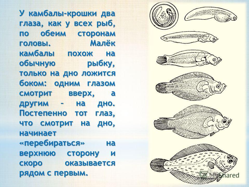 У камбалы-крошки два глаза, как у всех рыб, по обеим сторонам головы. Малёк камбалы похож на обычную рыбку, только на дно ложится боком: одним глазом смотрит вверх, а другим – на дно. Постепенно тот глаз, что смотрит на дно, начинает «перебираться» н