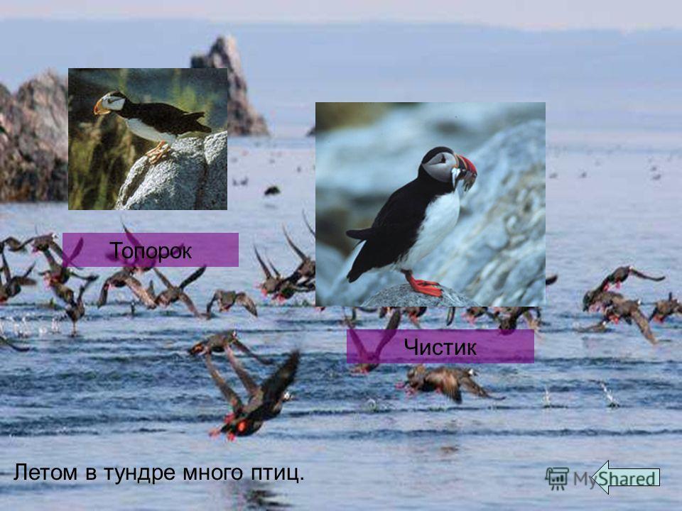 Летом в тундре много птиц. Топорок Чистик