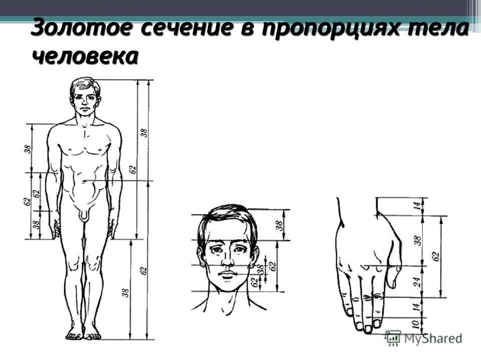 Золотое сечение в пропорциях тела человека