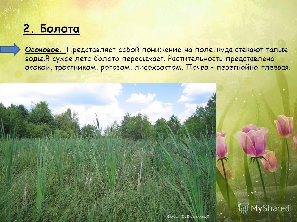2. Болота Осоковое. Представляет собой понижение на поле, куда стекают талые воды.В сухое лето болото пересыхает. Растительность представлена осокой, тростником, рогозом, лисохвостом. Почва – перегнойно-глеевая.