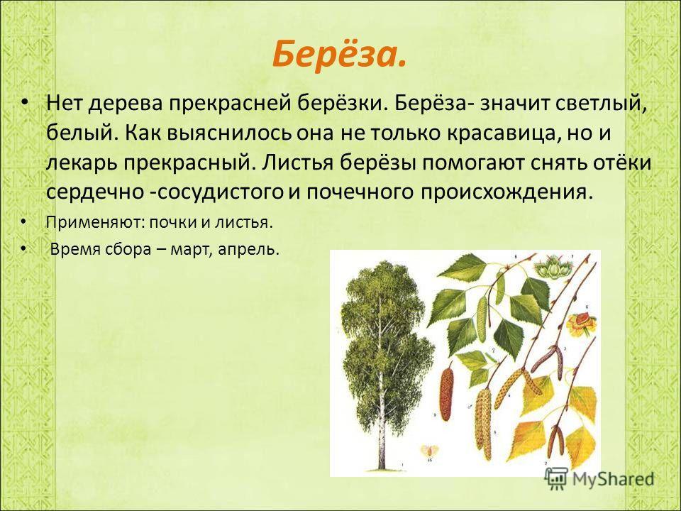 Берёза. Нет дерева прекрасней берёзки. Берёза- значит светлый, белый. Как выяснилось она не только красавица, но и лекарь прекрасный. Листья берёзы помогают снять отёки сердечно -сосудистого и почечного происхождения. Применяют: почки и листья. Время
