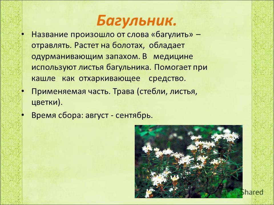 Багульник. Название произошло от слова «багулить» – отравлять. Растет на болотах, обладает одурманивающим запахом. В медицине используют листья багульника. Помогает при кашле как отхаркивающее средство. Применяемая часть. Трава (стебли, листья, цветк