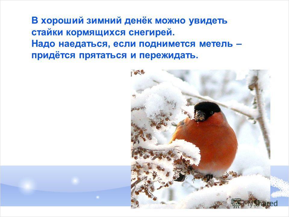 В хороший зимний денёк можно увидеть стайки кормящихся снегирей. Надо наедаться, если поднимется метель – придётся прятаться и пережидать.