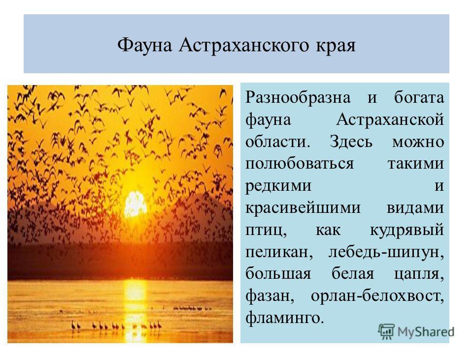 Фауна Астраханского края Разнообразна и богата фауна Астраханской области. Здесь можно полюбоваться такими редкими и красивейшими видами птиц, как кудрявый пеликан, лебедь-шипун, большая белая цапля, фазан, орлан-белохвост, фламинго.