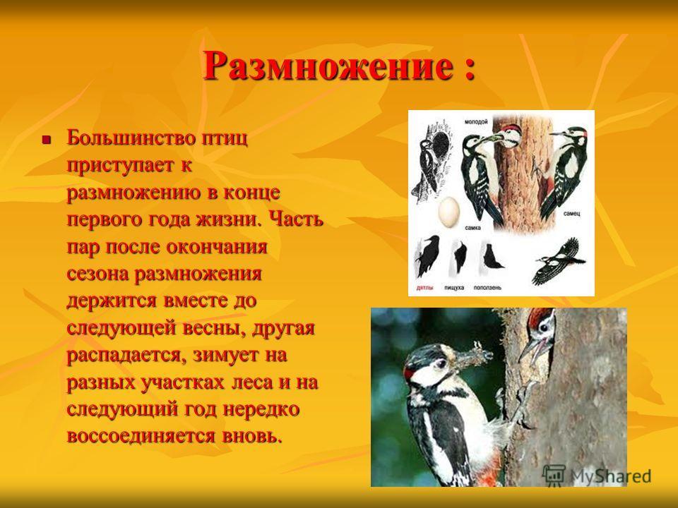 Размножение : Большинство птиц приступает к размножению в конце первого года жизни. Часть пар после окончания сезона размножения держится вместе до следующей весны, другая распадается, зимует на разных участках леса и на следующий год нередко воссоед