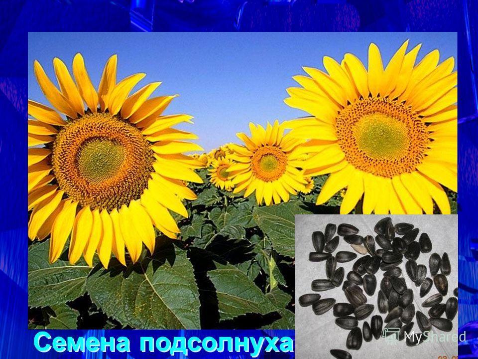 Здесь лежат семена растения, которое на своей родине – Мексике – было сорняком. Его привёз Колумб в Испанию как трофейный цветок, чтобы украсить ботанический сад Мадрида. И только в России это растение с большим жёлтым цветком приобрело славу ценного