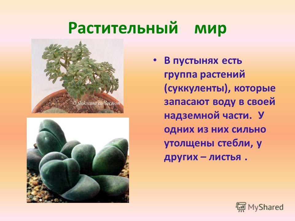 Растительный мир В пустынях есть группа растений (суккуленты), которые запасают воду в своей надземной части. У одних из них сильно утолщены стебли, у других – листья.