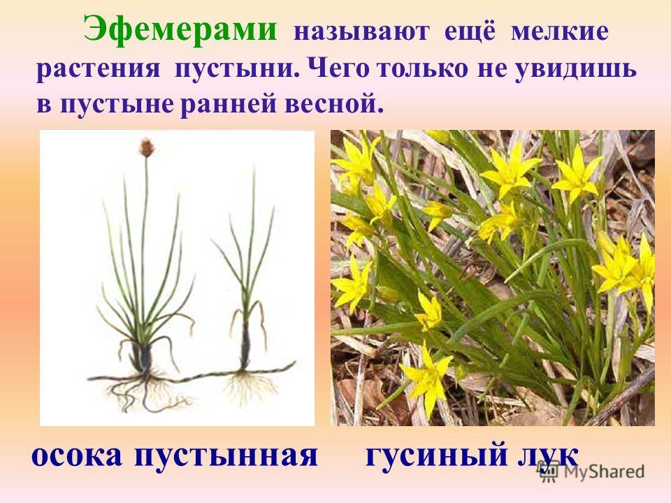 Эфемерами называют ещё мелкие растения пустыни. Чего только не увидишь в пустыне ранней весной. осока пустынная гусиный лук