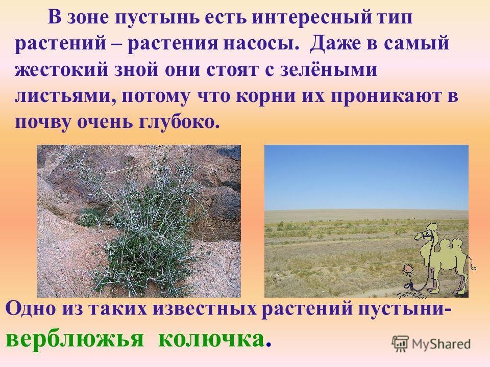 Одно из таких известных растений пустыни- верблюжья колючка. В зоне пустынь есть интересный тип растений – растения насосы. Даже в самый жестокий зной они стоят с зелёными листьями, потому что корни их проникают в почву очень глубоко.