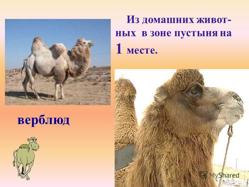 верблюд Из домашних живот- ных в зоне пустыня на 1 месте.