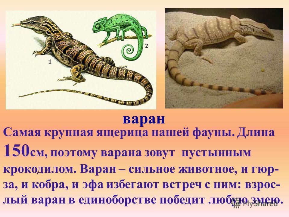 варан Самая крупная ящерица нашей фауны. Длина 150 см, поэтому варана зовут пустынным крокодилом. Варан – сильное животное, и гюр- за, и кобра, и эфа избегают встреч с ним: взрос- лый варан в единоборстве победит любую змею.
