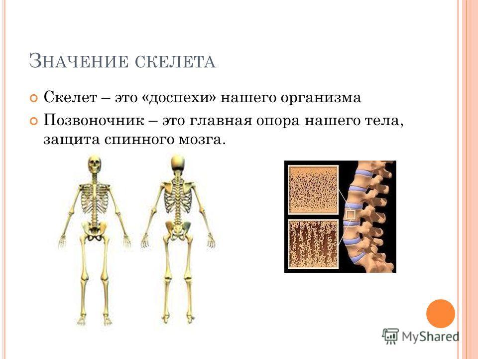 З НАЧЕНИЕ СКЕЛЕТА Скелет – это «доспехи» нашего организма Позвоночник – это главная опора нашего тела, защита спинного мозга.