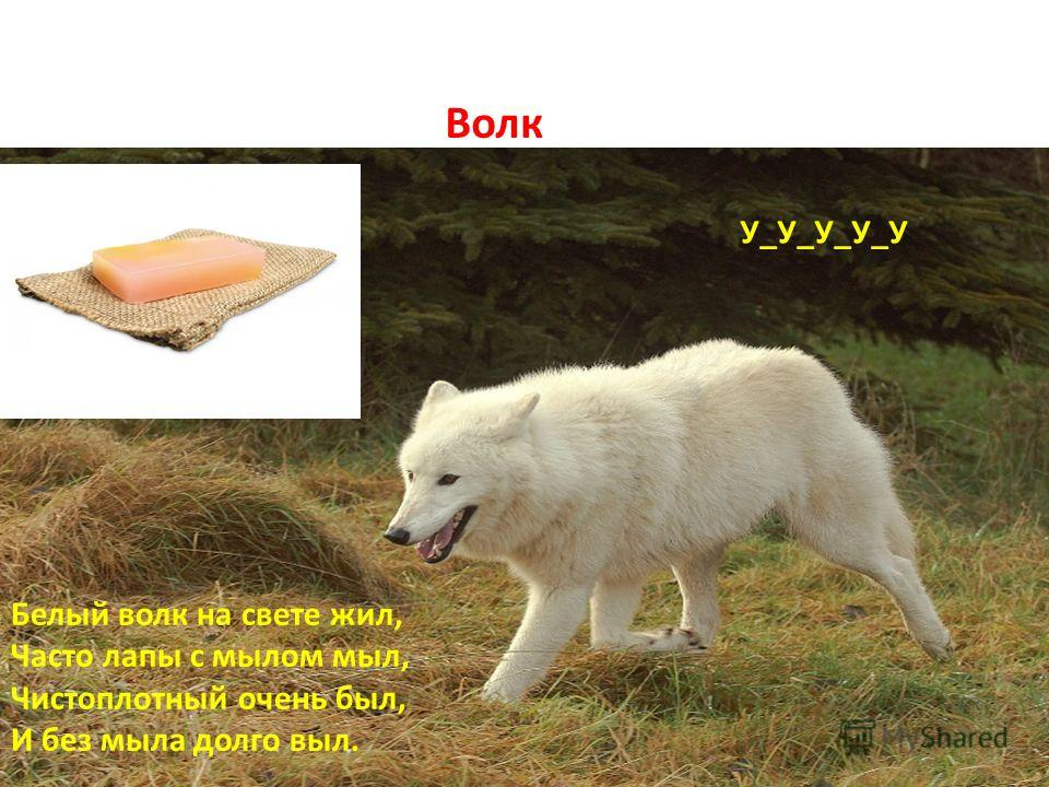 Волк Б Белый волк на свете жил, Часто лапы с мылом мыл, Чистоплотный очень был, И без мыла долго выл. У_У_У_У_У