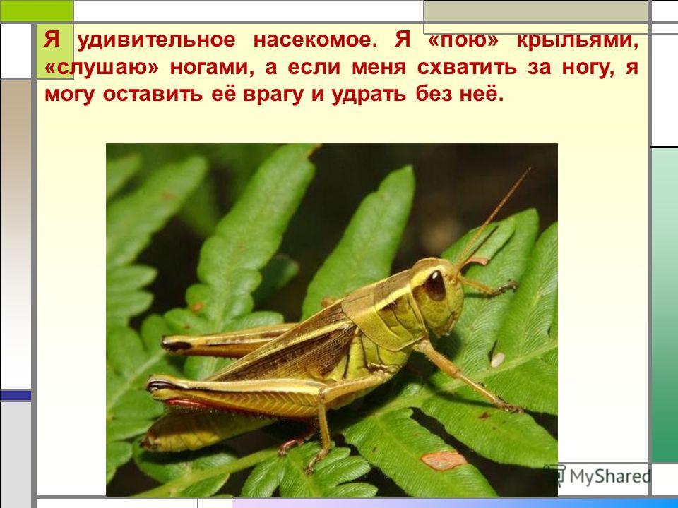 Я удивительное насекомое. Я «пою» крыльями, «слушаю» ногами, а если меня схватить за ногу, я могу оставить её врагу и удрать без неё.