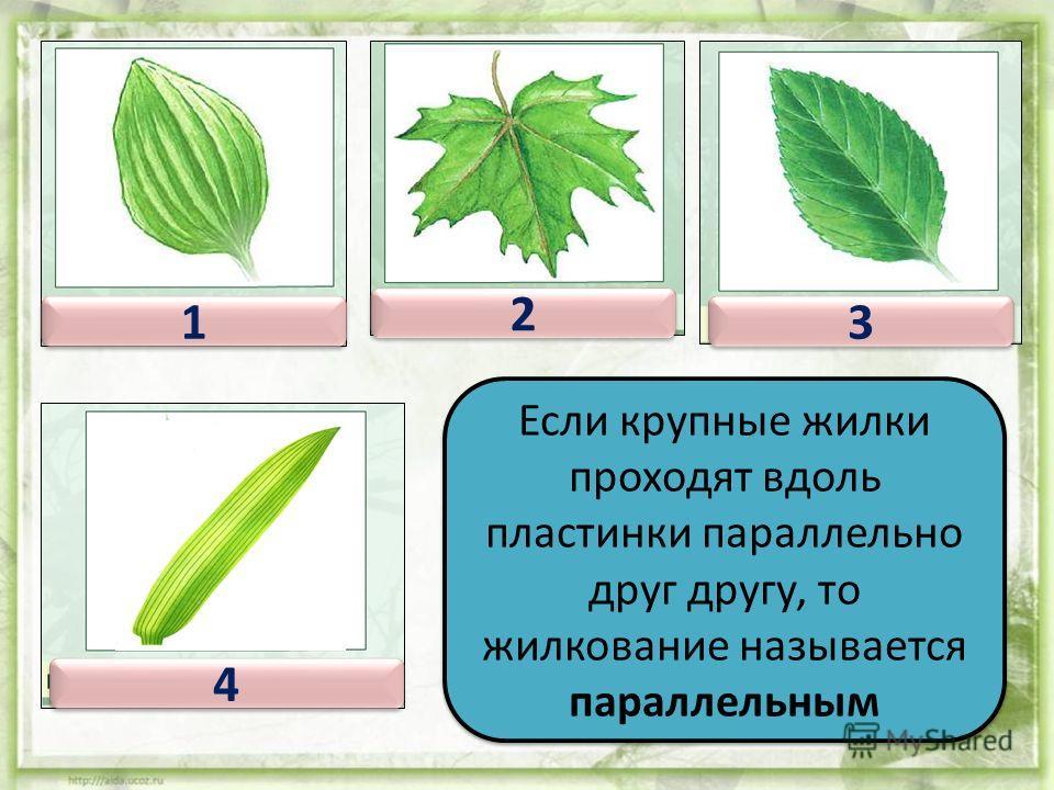 Если имеется несколько крупных, более или менее одинаковых жилок, которые сближены в основании пластинки, а по ней расходят- ся веером, тогда жилкование листа – пальчатое. 1 1 2 2 3 3 4 4