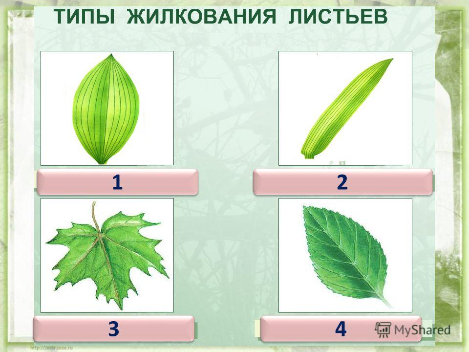 Дуговое жилкование у тех листьев, у которых крупные жилки, помимо центральной, изогнуты подобно дуге. 1 1 2 2 3 3 4 4