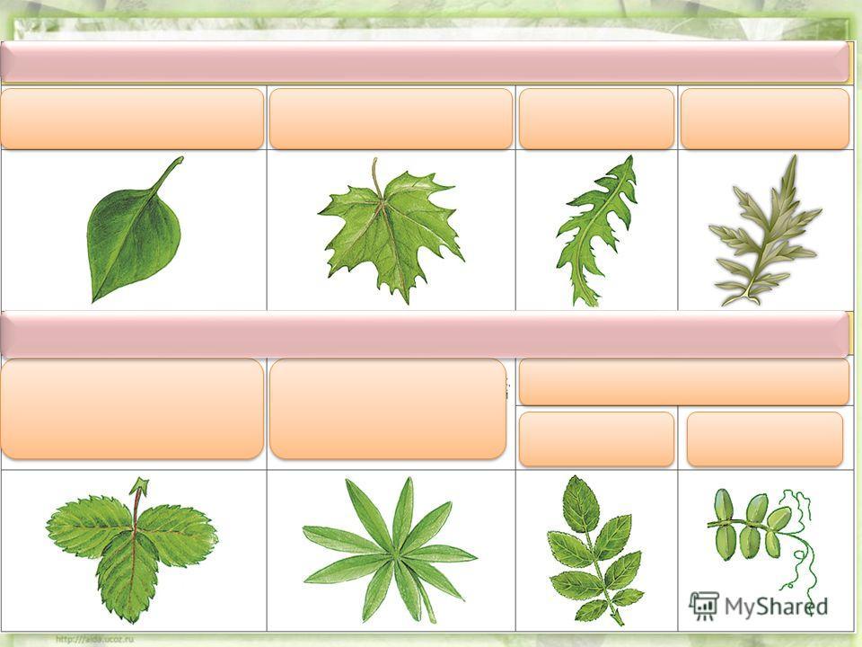 Сложные листья делятся на тройчатосложные, пальчатосложные и перистосложные. Тройчатосложные листья имеют три листовых пластинки (клевер, земляника). Пальчатосложные листья состоят из нескольких листовых пластинок, выходящих из одной точки (люпин, ко