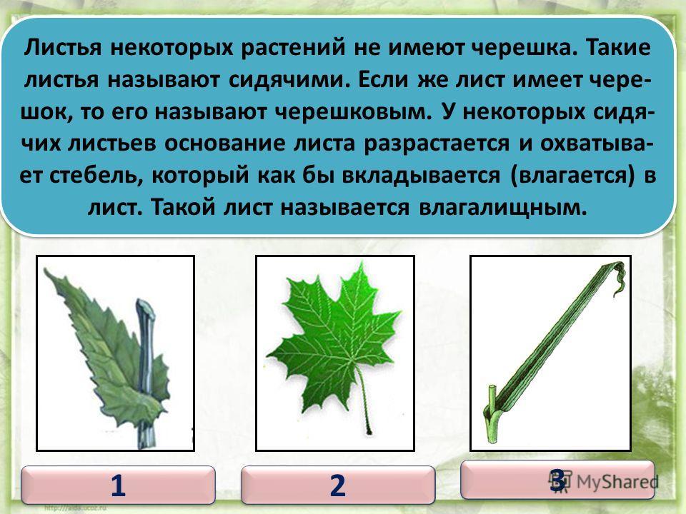 1 1 Листовая пластинка 1 1 2 2 3 3 4 4 2 2 3 3 4 4 Черешок Прилистники Основание листа