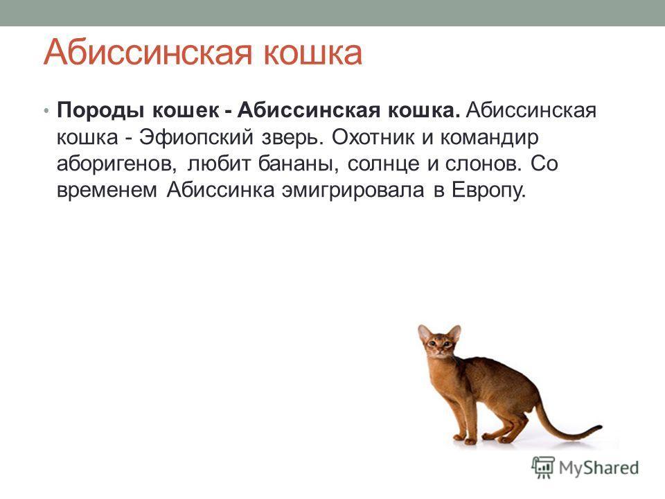 Абиссинская кошка Породы кошек - Абиссинская кошка. Абиссинская кошка - Эфиопский зверь. Охотник и командир аборигенов, любит бананы, солнце и слонов. Со временем Абиссинка эмигрировала в Европу.