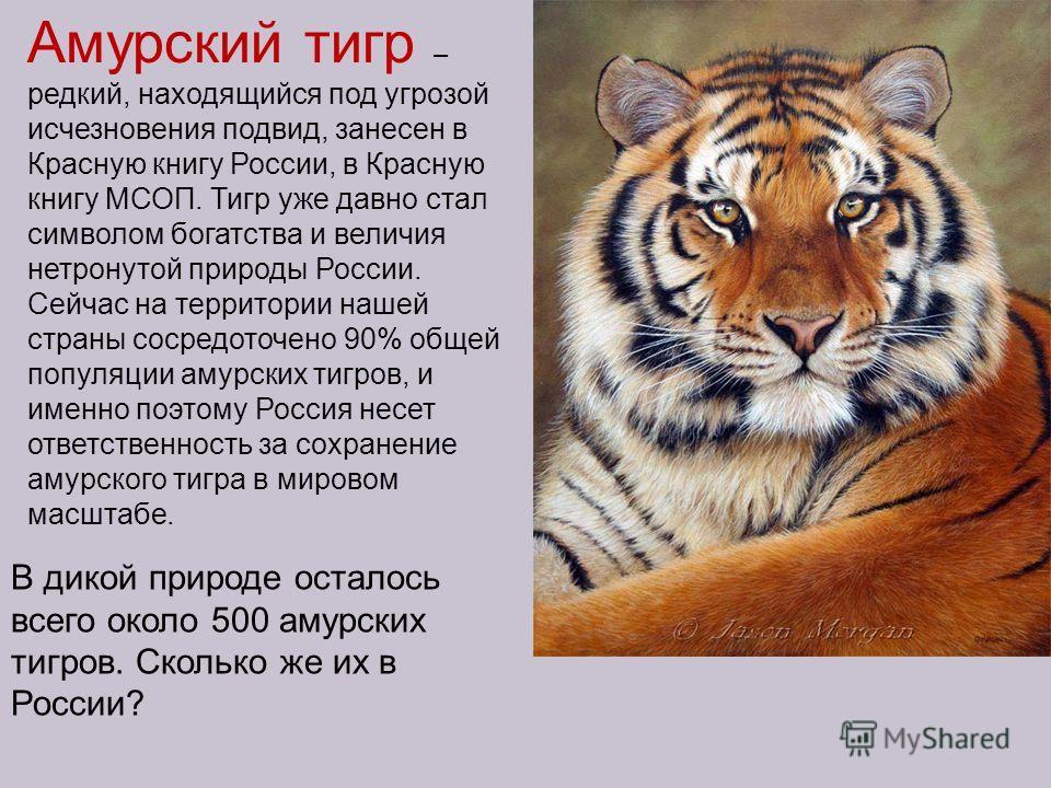 Амурский тигр – редкий, находящийся под угрозой исчезновения подвид, занесен в Красную книгу России, в Красную книгу МСОП. Тигр уже давно стал символом богатства и величия нетронутой природы России. Сейчас на территории нашей страны сосредоточено 90%