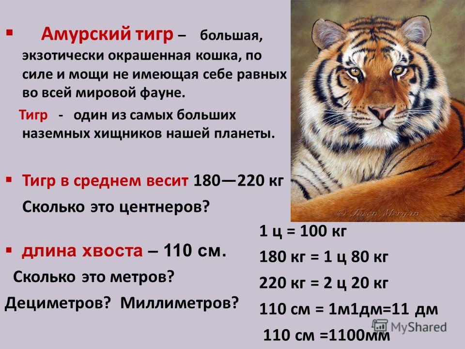 Амурский тигр – большая, экзотически окрашенная кошка, по силе и мощи не имеющая себе равных во всей мировой фауне. Тигр - один из самых больших наземных хищников нашей планеты. Тигр в среднем весит 180220 кг Сколько это центнеров? длина хвоста – 110
