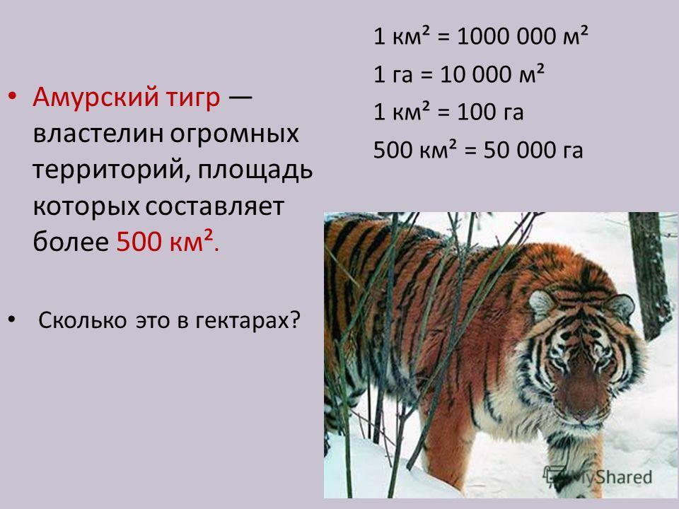 Амурский тигр властелин огромных территорий, площадь которых составляет более 500 км². Сколько это в гектарах? 1 км² = 1000 000 м² 1 га = 10 000 м² 1 км² = 100 га 500 км² = 50 000 га