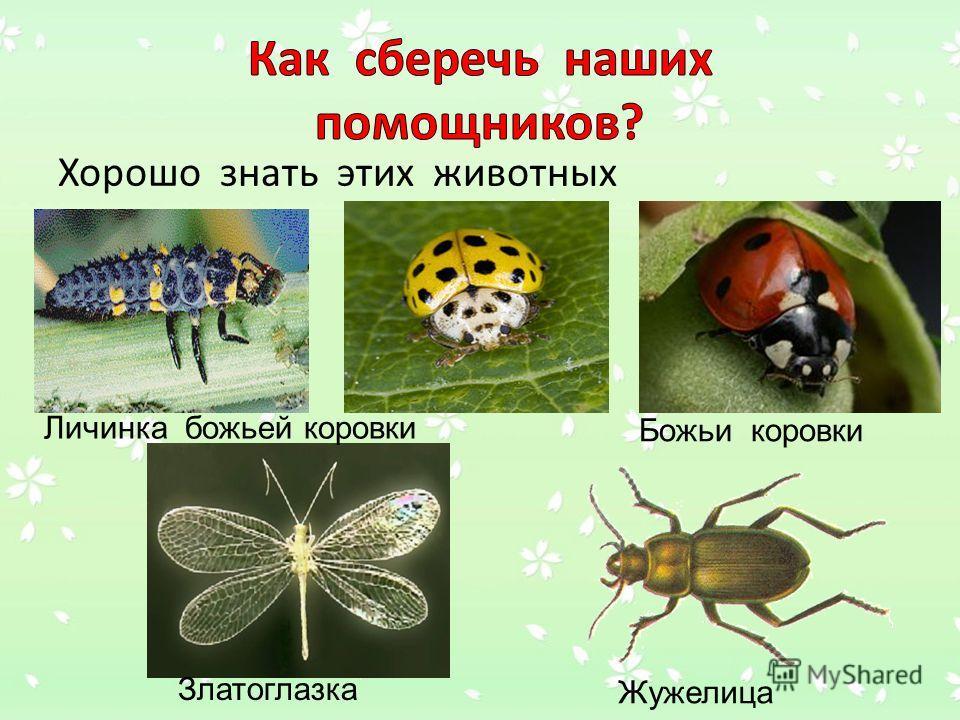 Хорошо знать этих животных Личинка божьей коровки Божьи коровки Златоглазка Жужелица