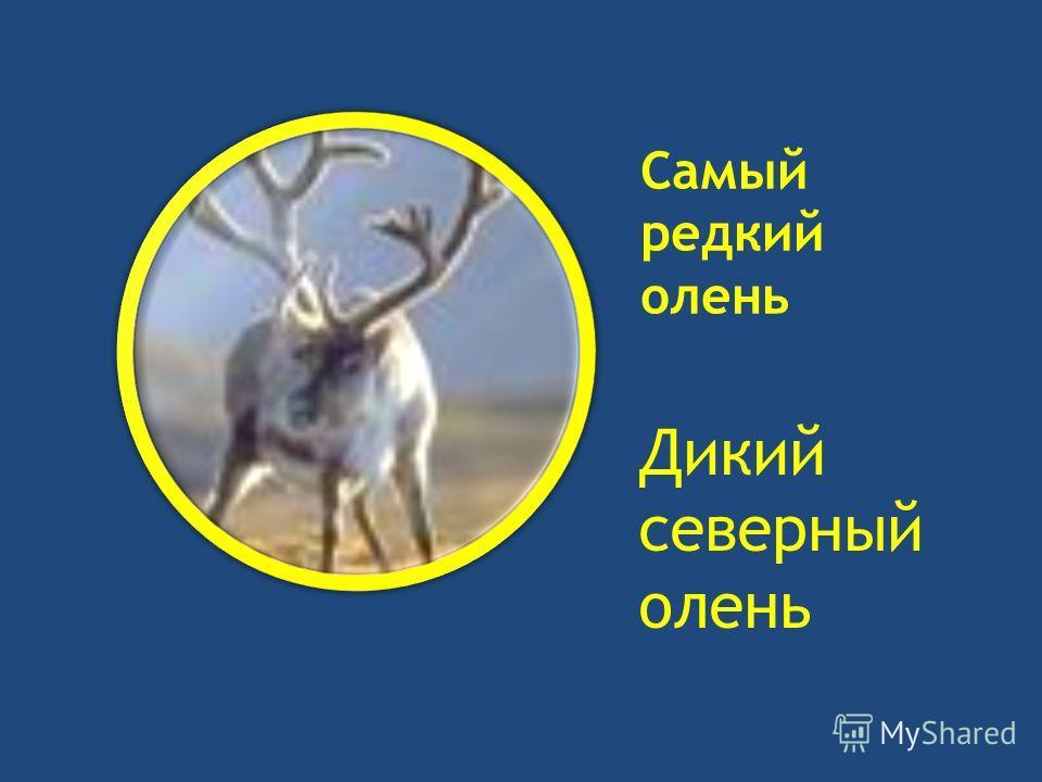 Самый редкий олень Дикий северный олень
