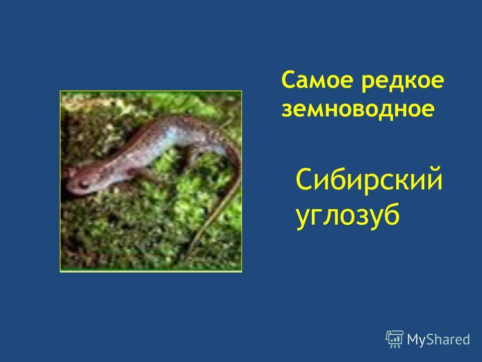 Самое редкое земноводное Сибирский углозуб