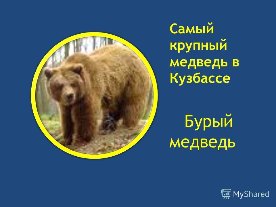 Самый крупный медведь в Кузбассе Бурый медведь