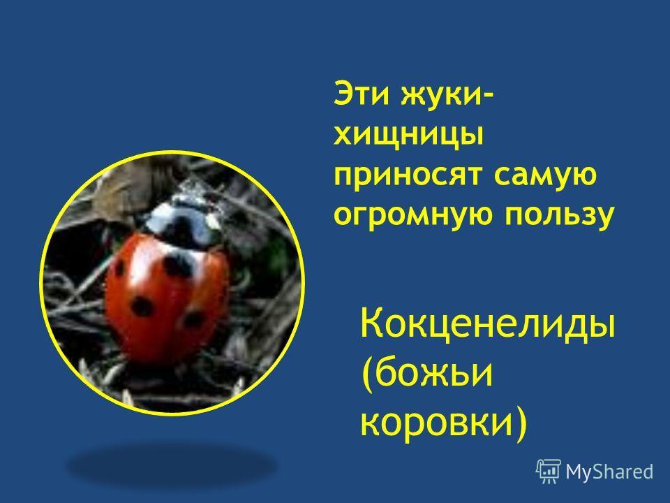 Эти жуки- хищницы приносят самую огромную пользу Кокценелиды (божьи коровки)