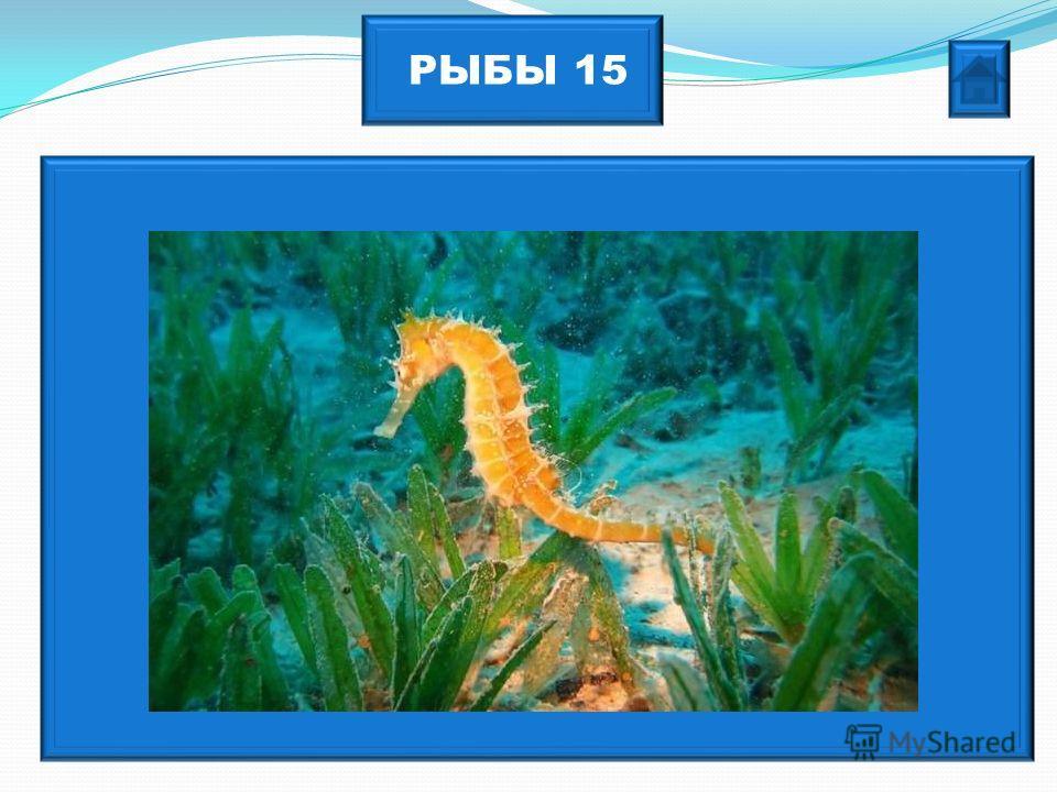 РЫБЫ 15 Эта «шахматная» рыбка стоит в воде вертикально.