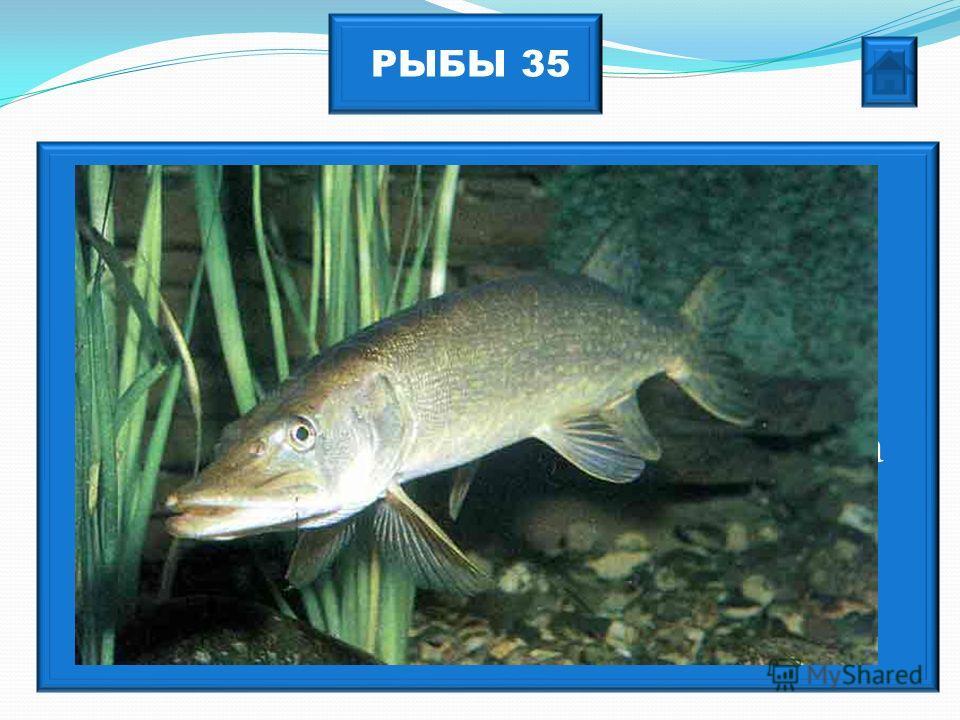 РЫБЫ 35 Многие народы верили в существование матери-рыбы, говорящей человеческим языком. Хребёт этой рыбы вешали на ворота в качестве средства от болезней, а зубы собирали и носили как оберег.