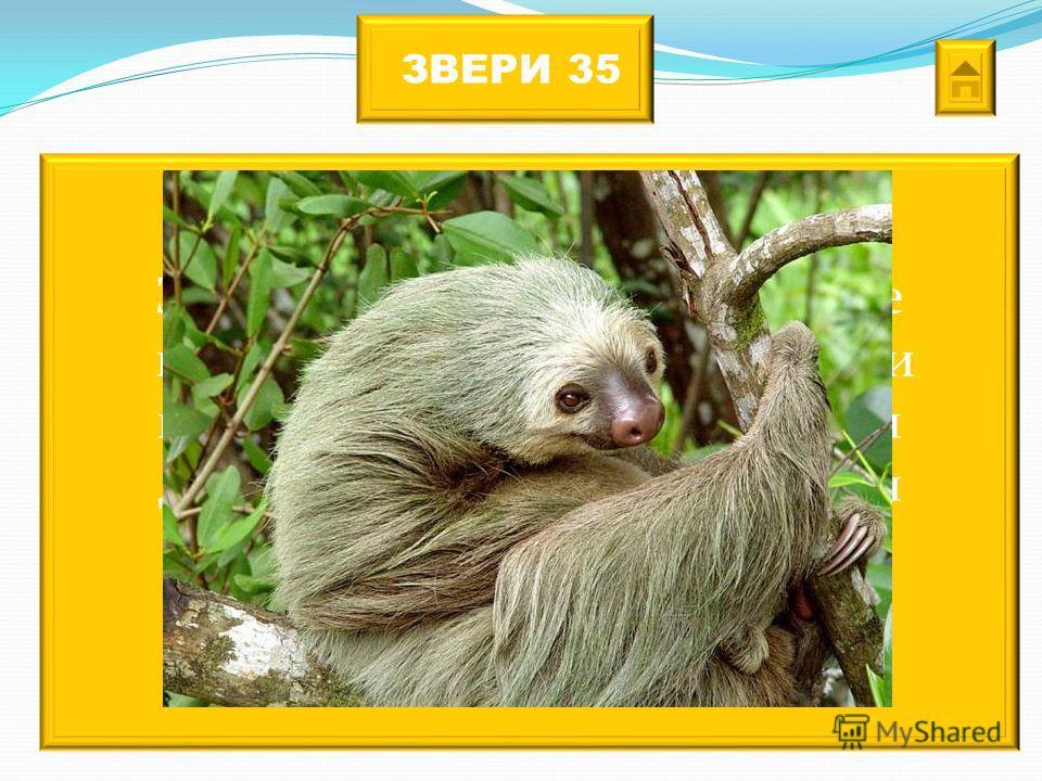 ЗВЕРИ 35 Это самое медленное животное на Земле. Большую часть жизни проводят на деревьях. Во время дождливого сезона в их шерсти растут водоросли, придающие ей зеленоватый оттенок.