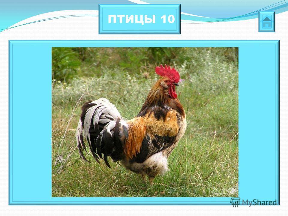 ПТИЦЫ 10 Как называется, которая живет везде, рождается из яйца, а сама яиц не несёт?
