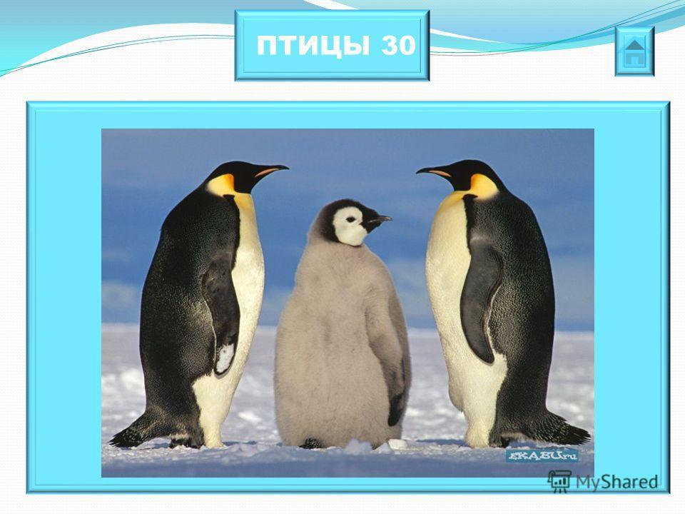 ПТИЦЫ 30 Эти коротконогие птицы могут развивать скорость до 40 км/ч, подпрыгивать вверх на 1,5 – 2 м. В отличии от остальных птиц не умеют летать.