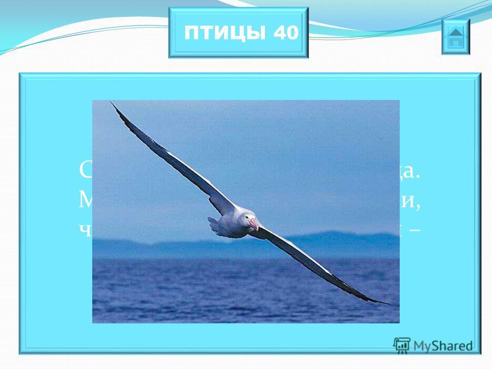 ПТИЦЫ 40 Самая крупная морская птица. Моряки долгое время считали, что убивать эту птицу нельзя – это плохой знак.