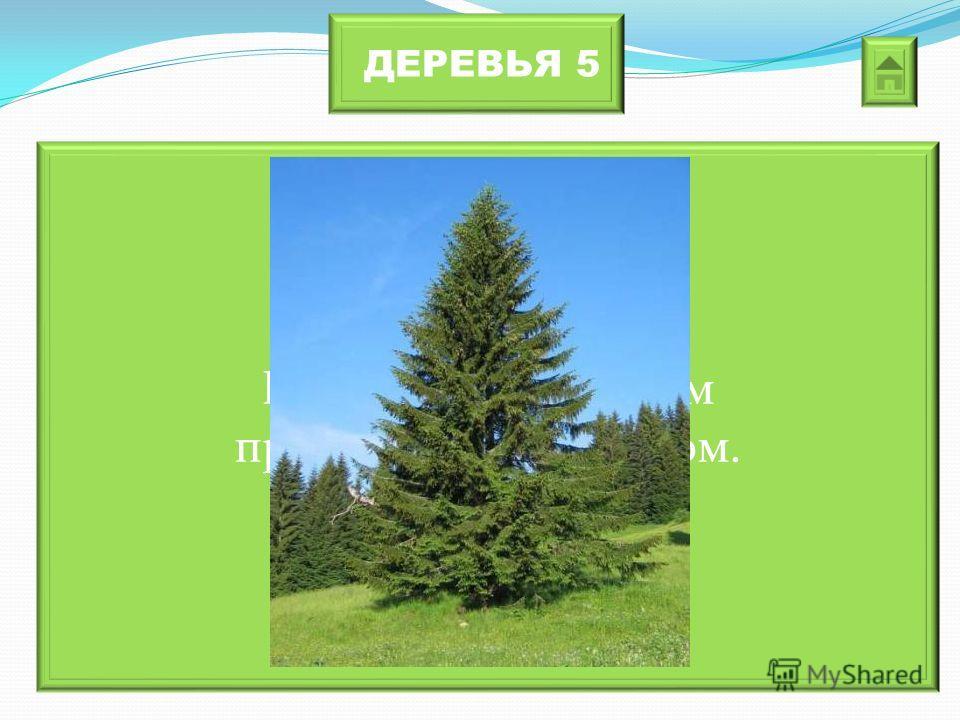 ДЕРЕВЬЯ 5 Его называют самым праздничным деревом.