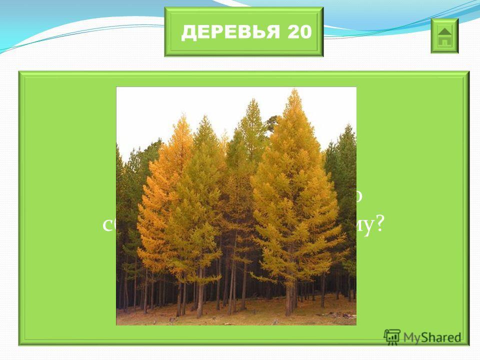ДЕРЕВЬЯ 20 Какое хвойное дерево сбрасывает хвою на зиму?
