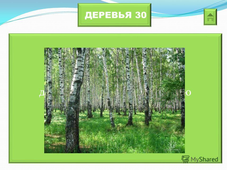 ДЕРЕВЬЯ 30 Это дерево отличается от других светом коры. В любую жару кора дерева остается прохладной.