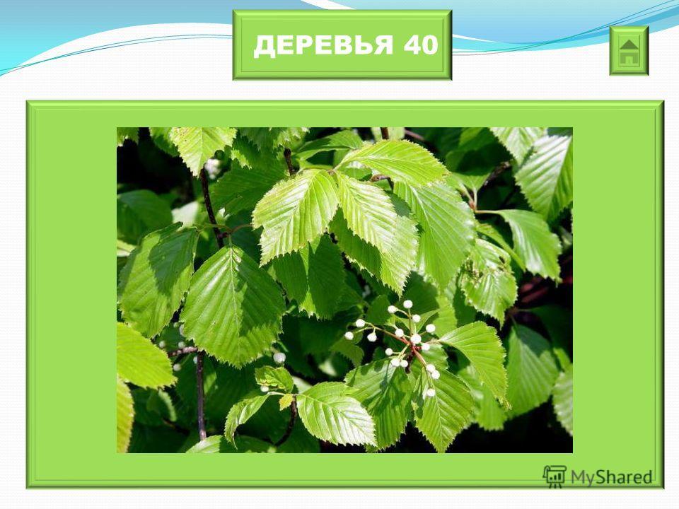 ДЕРЕВЬЯ 40 Это дерево прекрасный «пылесос», впитывает в себя пыль, сажу. Топором его срубить нельзя, так как он увязнет в древесине.