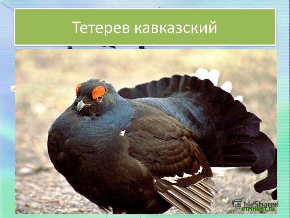 Тетерев кавказский Птица средней величины, масса колеблется от 700 до 1500 г. Окраска матово-сине-черная, концы хвоста изогнуты в бок и вниз. Самка рыже-бурая с черным поперечным рисунком. Кавказский тетерев распространен на крайне ограниченной терри