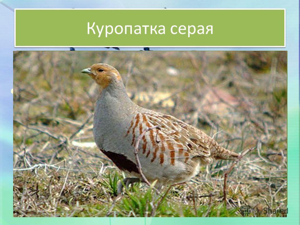 Куропатка серая Небольшой величины птица, достигающая массы от 350 до 600 г. По внешнему облику напоминает маленькую курицу плотного телосложения. Это исключительно наземная птица. Самец окрашен сверху в серовато-бурый цвет с черным струйчатым рисунк